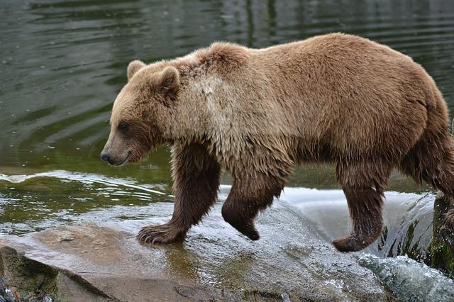 medved-kanada