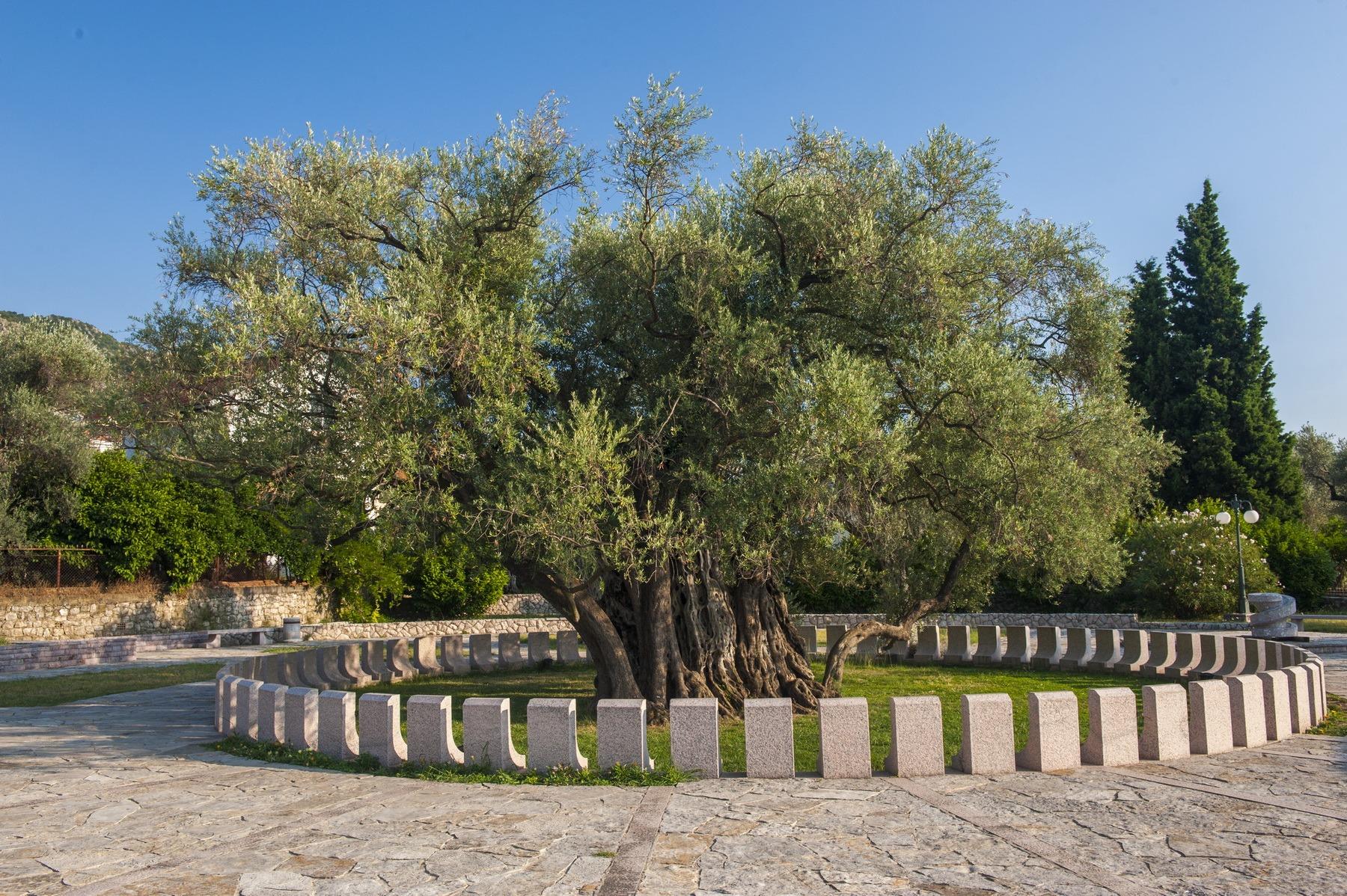 najstarija maslina u Baru