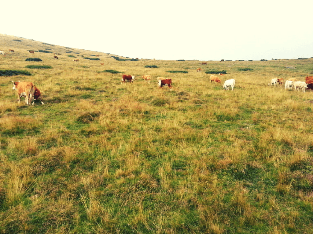 stara planina, pirot, krave